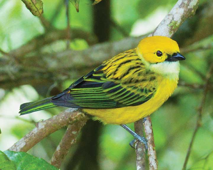 Yellow & Green Bird