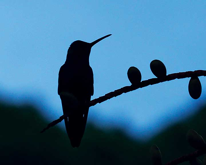 Hummingbird at Dusk
