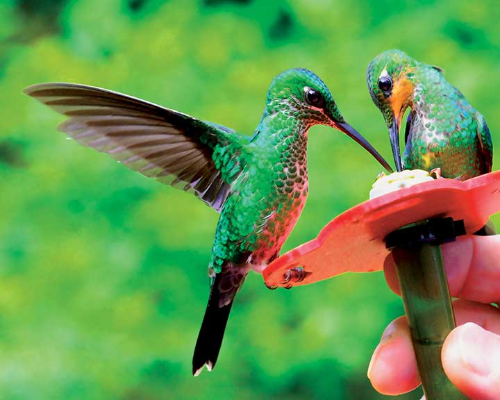 Two Hummingbirds Feeding