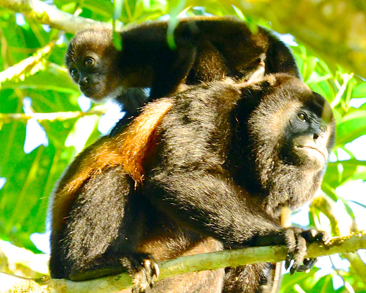 Howler Monkeys, Male and Baby