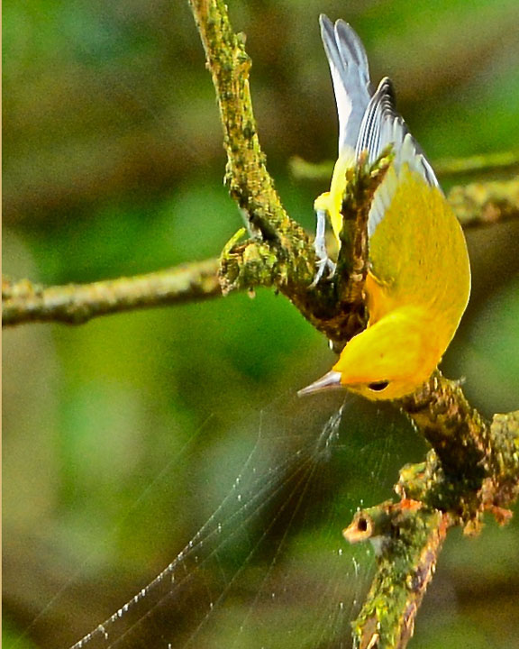 Yellow Costa Rican Bird